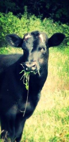 Prier Farms Cow